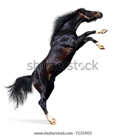 arabian black stallion - stock photo