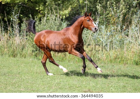 Arabian breed horse galloping across a green summer pasture