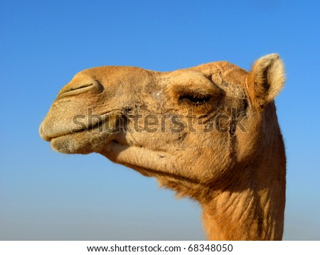 Arabian Camel Head Close-Up - stock photo