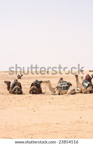 arabian camels - stock photo