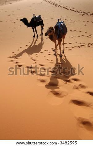 Arabian camels or Dromedaries (Camelus dromedarius) also called one-humped camels in the Sahara Desert, Morocco - stock photo
