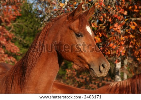 Arabian chestnut gelding with autumn colors - stock photo