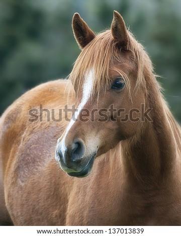 Arabian Chestnut Horse - stock photo
