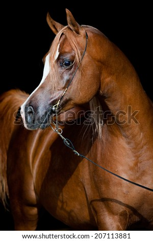 Arabian chestnut horse portrait on dark background - stock photo