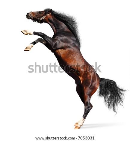 arabian chestnut stallion - stock photo