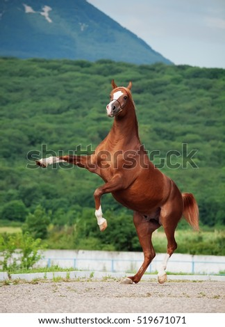 arabian chestnut stallion rearing. at mountain background