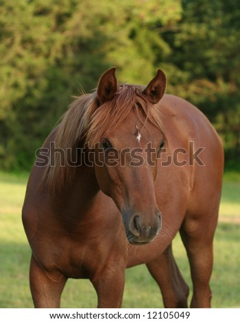 Arabian Colt - stock photo