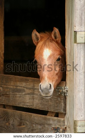 Arabian Colt looking out of stall door - stock photo