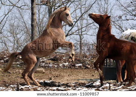 Arabian colts play fighting - stock photo
