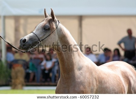 Arabian filly on show