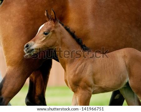 arabian foal few days old - stock photo