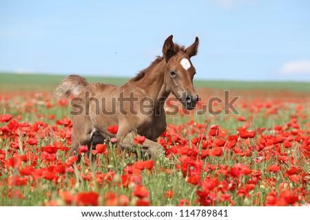 Arabian foal running in red poppy field - stock photo