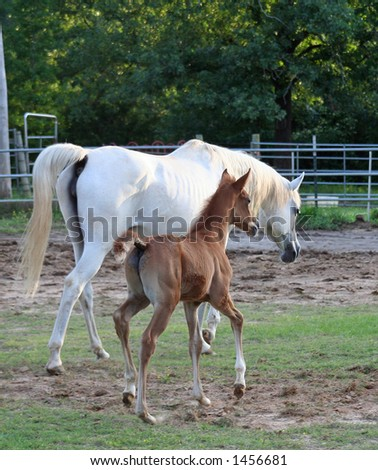 Arabian Foal trotting to keep up with Dam