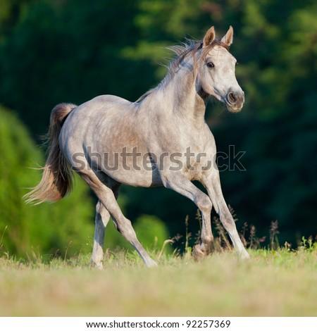 Arabian gray horse gallop in dorest - stock photo