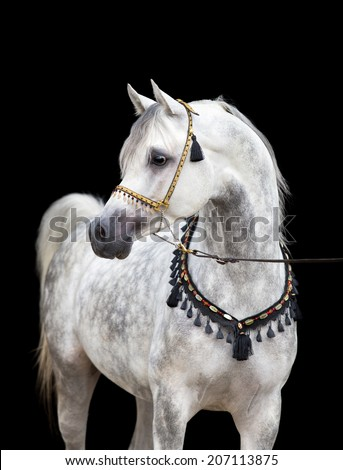 Arabian gray horse on black background - stock photo