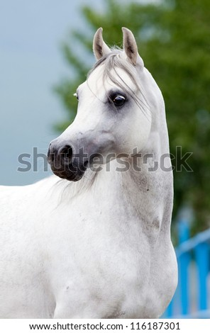 Arabian grey horse - stock photo