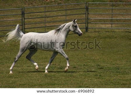 Arabian Grey Mare trotting in field
