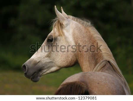 Arabian Grey two year old colt - stock photo