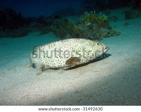 Arabian grouper. Greasy grouper fish also known as Epinephelus tauvina, Hamoor on the bottom near the coral reef - stock photo