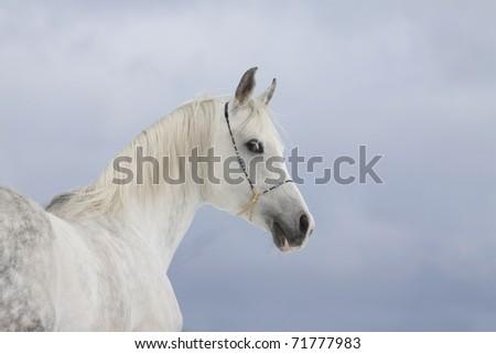 arabian horse - stock photo