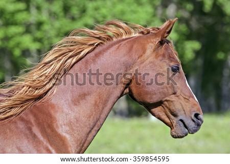 Arabian Horse, chestnut Stallion, portrait Head closeup  - stock photo