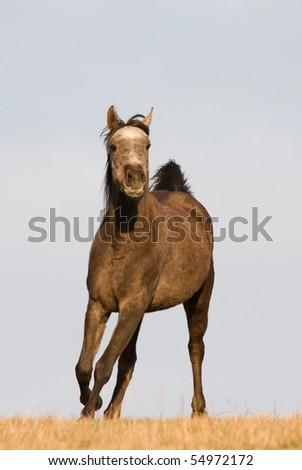 Arabian horse enjoys running across the meadow - stock photo