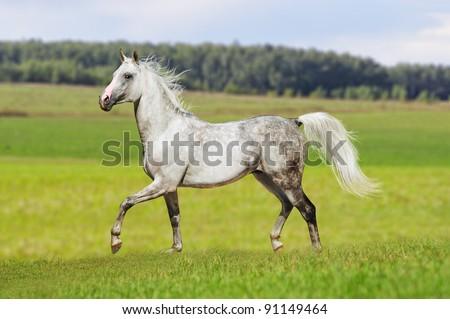 arabian horse free in summer - stock photo