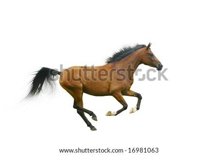arabian horse galloping - stock photo