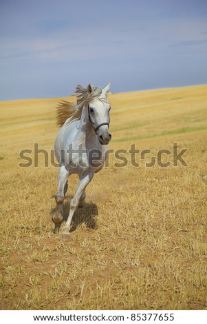 Arabian horse galloping towards camera in a golden field