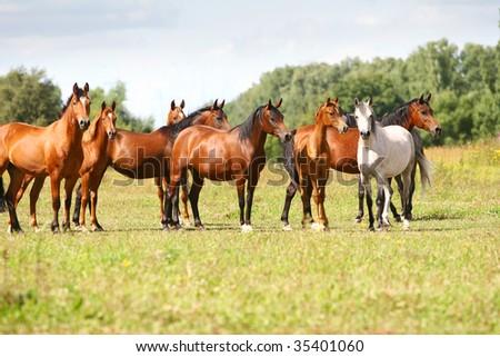 arabian horse herd in field - stock photo