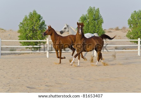 Arabian Horse in the Arabian Desert - stock photo