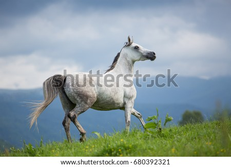 Arabian horse in the mountains