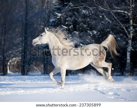 arabian horse in winter field - stock photo