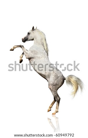 arabian horse isolated - stock photo