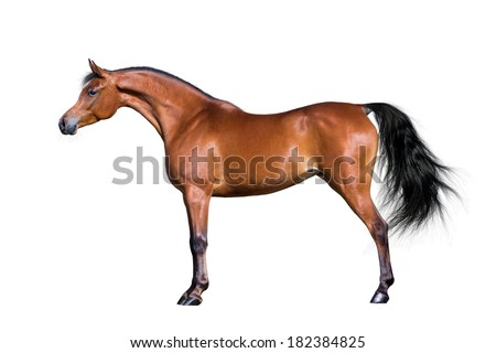 Arabian horse isolated on white background. - stock photo