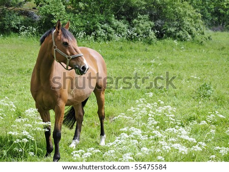 Arabian horse on grass meadow - stock photo