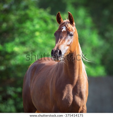 Arabian horse portrait on green background - stock photo