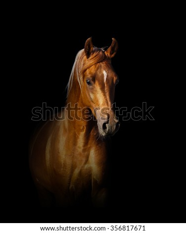 arabian horse portrait over a black background - stock photo