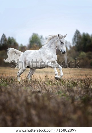 Arabian horse running gallop on an autumn background.