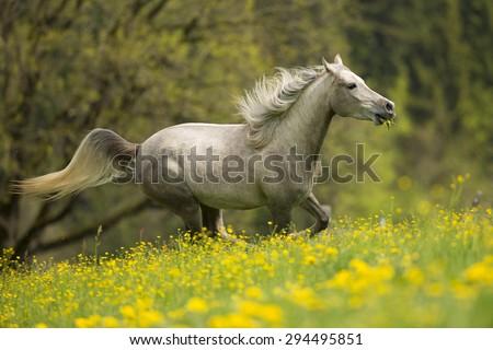 Arabian Horse running throug flowers - stock photo