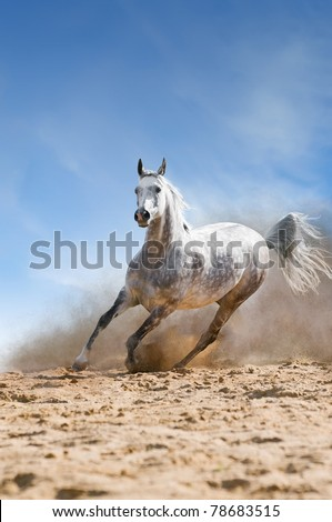 arabian horse runs gallop in the dust desert