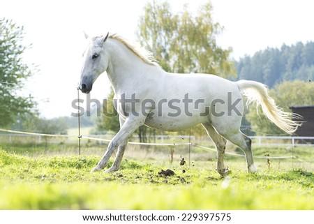 arabian horse stallion running in nature - stock photo
