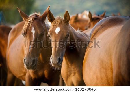arabian horses herd - stock photo