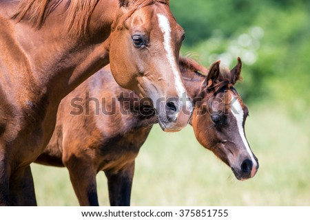 Arabian mare and foal closeup on green background - stock photo