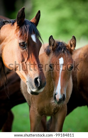 Arabian mare and foal in meadow - stock photo
