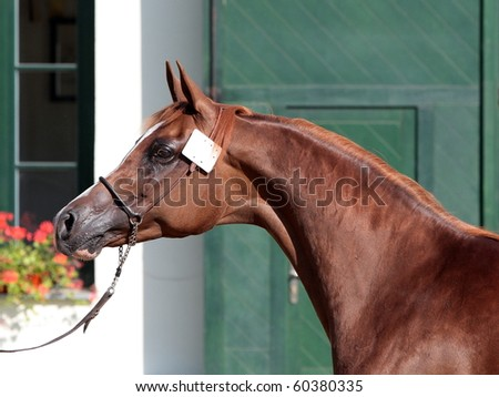 Arabian mare in front of stables - stock photo