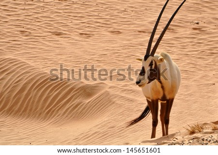 Arabian Oryx - stock photo