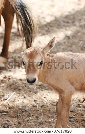 arabian oryx calf - stock photo