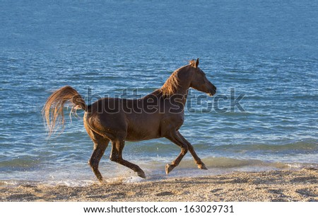 Arabian red stallion on the sea