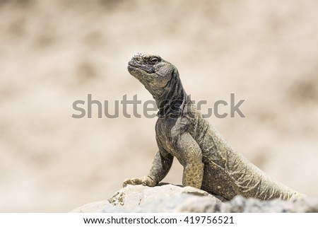 Arabian spiny tail lizard found in the desert of Bahrain